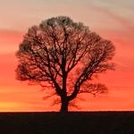 red-thumb-tree